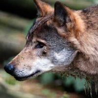 Berlin Wölfe
