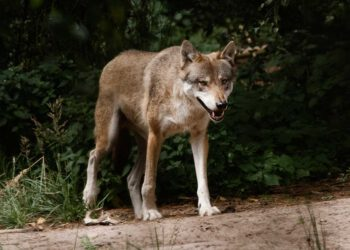Wölfe Schorfheide