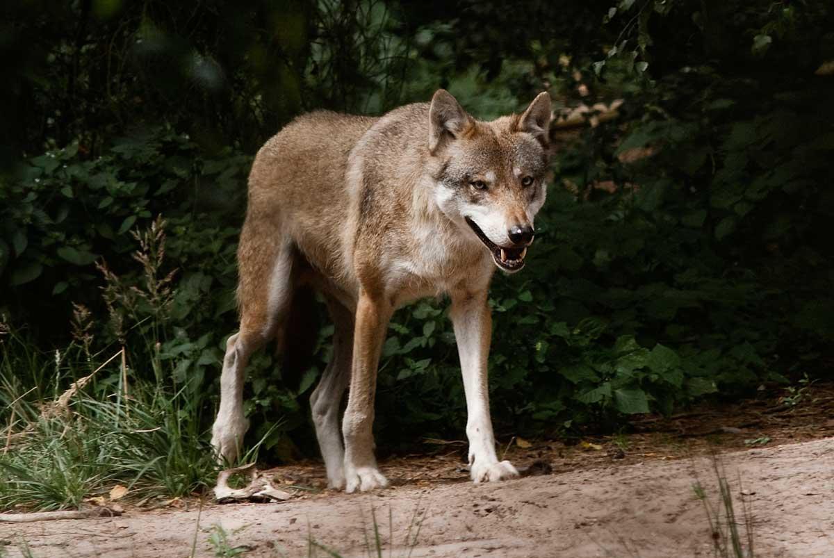 Ein Wolf tritt auf die Lichtung