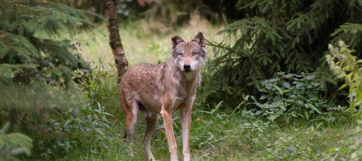 Schorfheide Wölfe