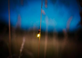 Glühwürmchen am Halm